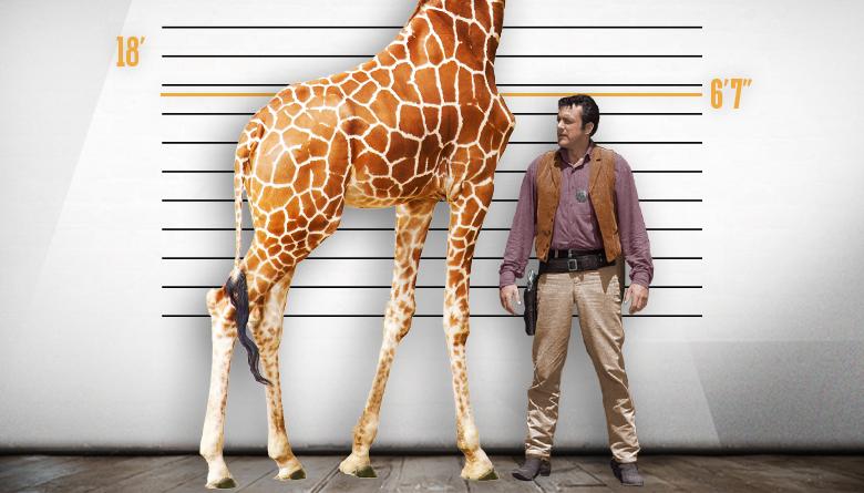 Giraffe and James Arness Height Comparison
